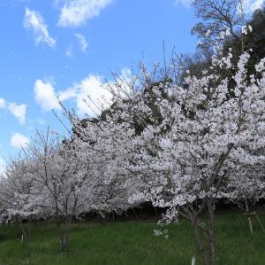かっぱの小径桜